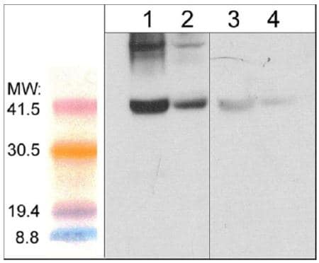 Western blot - Anti-Fbx32 antibody (ab157596)