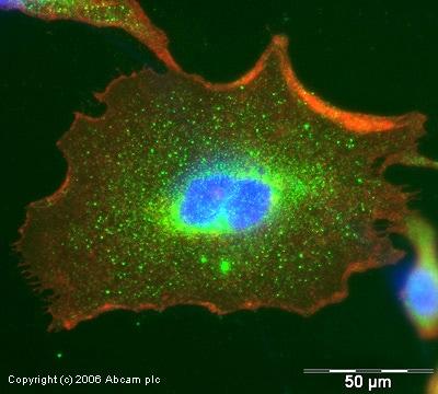 Immunocytochemistry/ Immunofluorescence - Anti-SOCS3  antibody (ab16030)