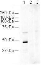 Western blot - Anti-HDAC2 antibody (ab16032)