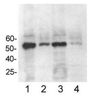 Immunoprecipitation - Anti-p53 (mono methyl K372) antibody (ab16033)
