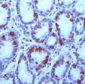 Immunohistochemistry (Formalin/PFA-fixed paraffin-embedded sections) - Anti-Gastrin antibody (ab16035)