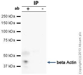 Immunoprecipitation - Anti-beta Actin antibody - Cytoskeleton Marker (ab16039)