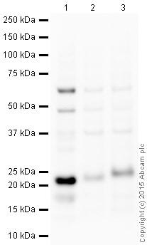 Western blot - Anti-CD3 antibody (ab16044)