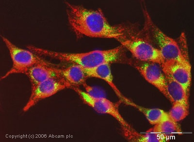 Immunocytochemistry/ Immunofluorescence - Anti-Cyclophilin B antibody (ab16045)