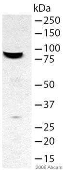 Western blot - Anti-FOXP2 antibody (ab16046)