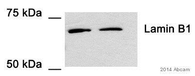 Western blot - Anti-Lamin B1 antibody - Nuclear Envelope Marker (ab16048)