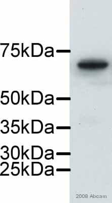 Western印迹-抗核纤层蛋白B1抗体-核包膜标记物(AB16048)