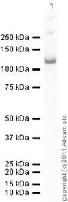 Western blot - Anti-beta Catenin antibody (ab16051)