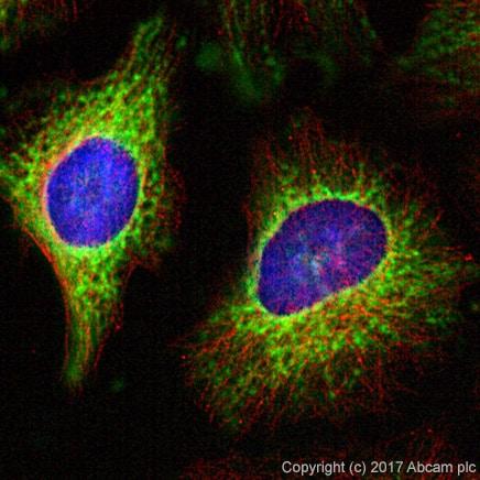 Immunocytochemistry/ Immunofluorescence - Anti-COX IV antibody - Mitochondrial Loading Control (ab16056)
