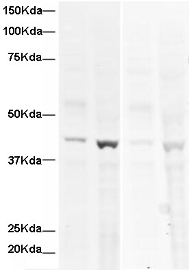 Western blot - Human alpha smooth muscle Actin peptide (ab16102)