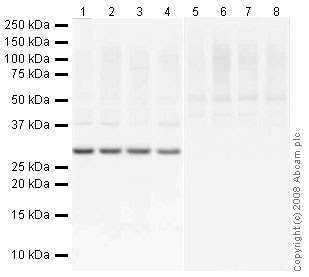 Western blot - Human SOCS3 peptide (ab16199)
