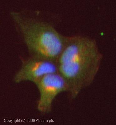 Immunocytochemistry/ Immunofluorescence - Anti-CCR3 antibody [5E8] (ab16231)