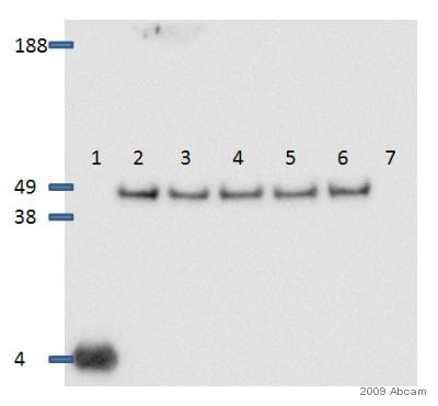 Western blot - Donkey Anti-Rabbit IgG H&L (HRP) (ab16284)