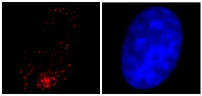 Immunocytochemistry/ Immunofluorescence - Anti-gamma Tubulin antibody - Centrosome Marker (ab16504)