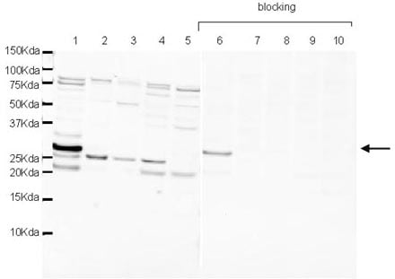 Western blot - Anti-Amino-terminal enhancer of split antibody (ab16638)