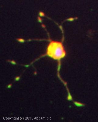 Immunocytochemistry/ Immunofluorescence - Anti-Sortilin/NT3 antibody (ab16640)