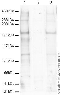 Western blot - Anti-NMDAR2A (phospho Y1325) antibody (ab16646)