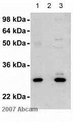 Immunoprecipitation - Anti-FKBP25 antibody (ab16654)