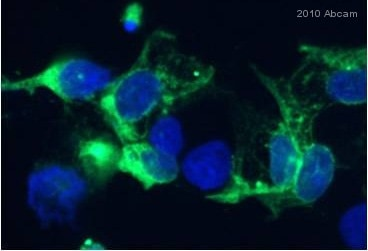 Immunocytochemistry/ Immunofluorescence - Anti-Catalase antibody - Peroxisome Marker (ab16731)
