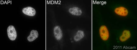 Immunocytochemistry/ Immunofluorescence - Anti-MDM2 antibody [2A10] (ab16895)