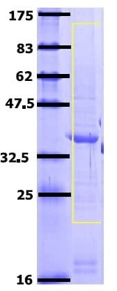 SDS-PAGE - Recombinant Human Zonula occludens protein 3/ZO3 (ab162092)
