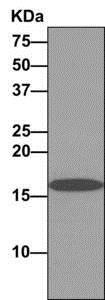 Immunoprecipitation - Anti-FAM96B antibody [EPR10178] (ab166607)