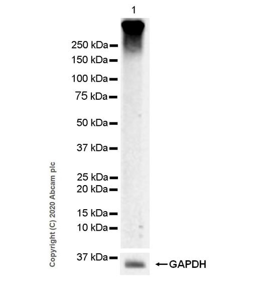 Western blot - Anti-Metabotropic Glutamate Receptor 3/MGLUR3 antibody [EPR9009(2)] (ab166608)