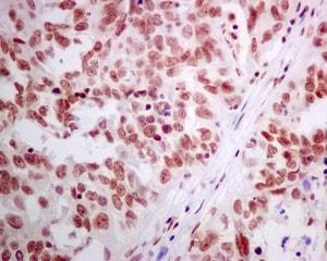 Immunohistochemistry (Formalin/PFA-fixed paraffin-embedded sections) - Anti-ERH antibody [EPR10830(B)] (ab166620)
