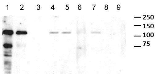 Western blot - Anti-GWL antibody [RIPLY 74C] (ab166647)