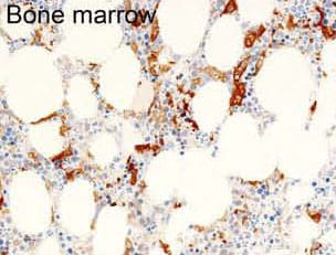 Immunohistochemistry (Formalin/PFA-fixed paraffin-embedded sections) - Anti-GWL antibody [RIPLY 74C] (ab166647)