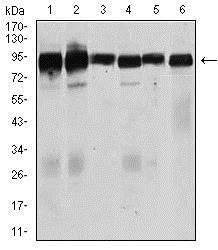 Western blot - Anti-TGF beta Receptor III/TGFBR3 antibody [1C5H11] (ab166705)