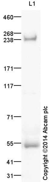 Western blot - Anti-ARID2 antibody (ab166850)
