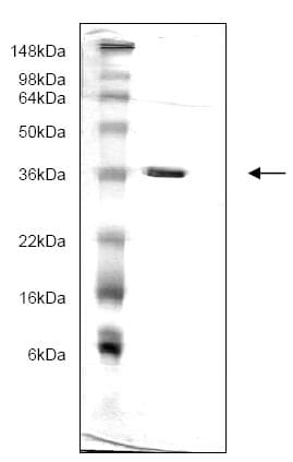 SDS-PAGE - Recombinant Human 14-3-3 gamma/YWHAG protein (ab166880)