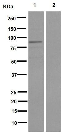 Western blot - Anti-RASGRP3 (phospho S172) antibody [EPNCIR149] (ab166887)