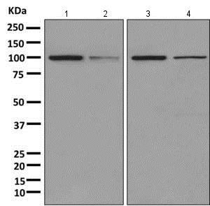 Western blot - Anti-AlaRS antibody [EPR11036(B)] (ab166915)