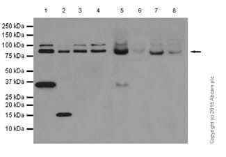 Western blot - Anti-Cullin 2/CUL-2 antibody [EPR3104(2)] (ab166917)