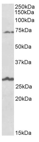 Western blot - Anti-BGT-1 antibody (ab166933)