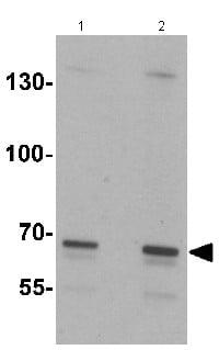 Western blot - Anti-SLC27A6 antibody - N-terminal (ab167099)