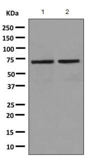 Western blot - Anti-TRIM25/EFP antibody [EPR7315] (ab167154)