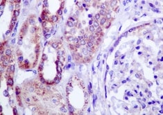 Immunohistochemistry (Formalin/PFA-fixed paraffin-embedded sections) - Anti-SLC9A9 antibody [EP8725] (ab167157)