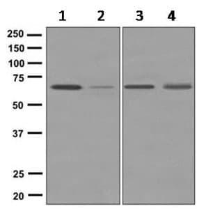 Western blot - Anti-OTOP2 antibody [EPR9484] (ab167167)