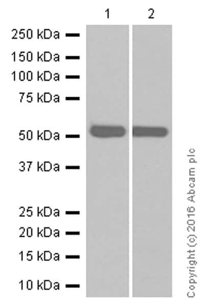 Western blot - Anti-Prostaglandin E Receptor EP2/PTGER2 antibody [EPR8030(B)] (ab167171)