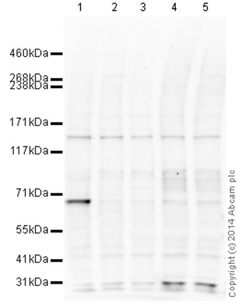 Western blot - Anti-Gli2 antibody (ab167389)