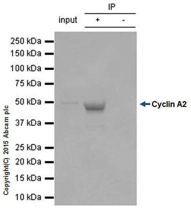 Immunoprecipitation - Anti-Cyclin A2 antibody [Y193] - BSA and Azide free (ab167392)