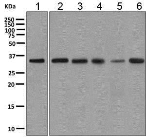 Western blot - Anti-SPSB2 antibody [EPR11723(B)] (ab167395)