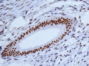 Immunohistochemistry (Formalin/PFA-fixed paraffin-embedded sections) - Anti-NELF-B antibody [EPR11200] (ab167401)