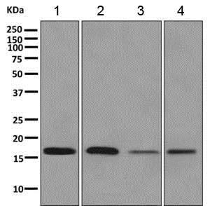 Western blot - Anti-REEP5 antibody [EPR11114(B)] (ab167405)