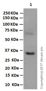 Western blot - Anti-PNMT antibody [EPR7547(2)] (ab167427)