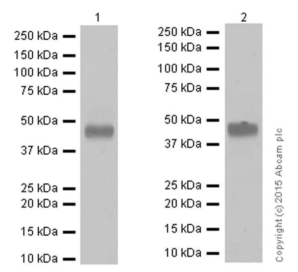 Western blot - Anti-CD134 / OX40L receptor antibody [EPR17Y] - BSA and Azide free (ab167545)