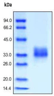SDS-PAGE - Recombinant human Folate Binding Protein/FBP (ab167698)